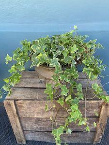 British Ivy